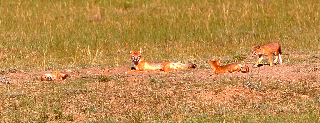 Swift fox family on federal land, Wyoming