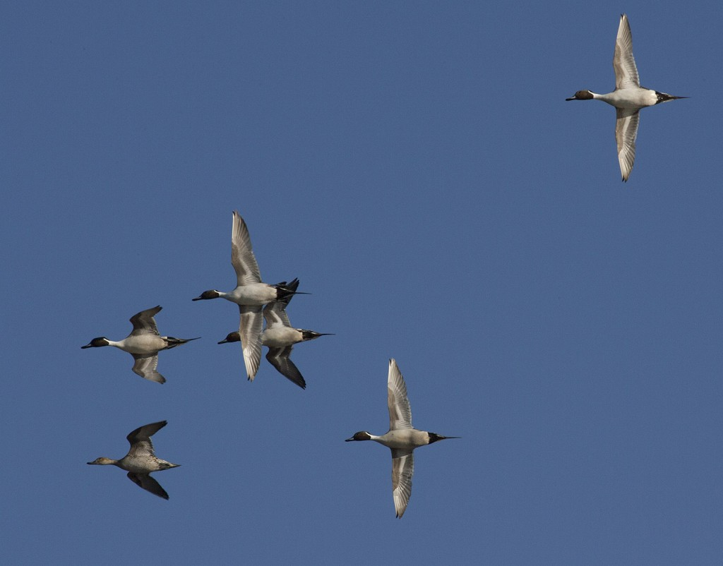 Pintail courtship over a federal waterfowl production area, Nebraska