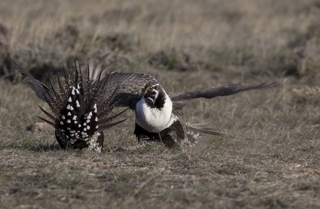 sage grouse fighting 1-1