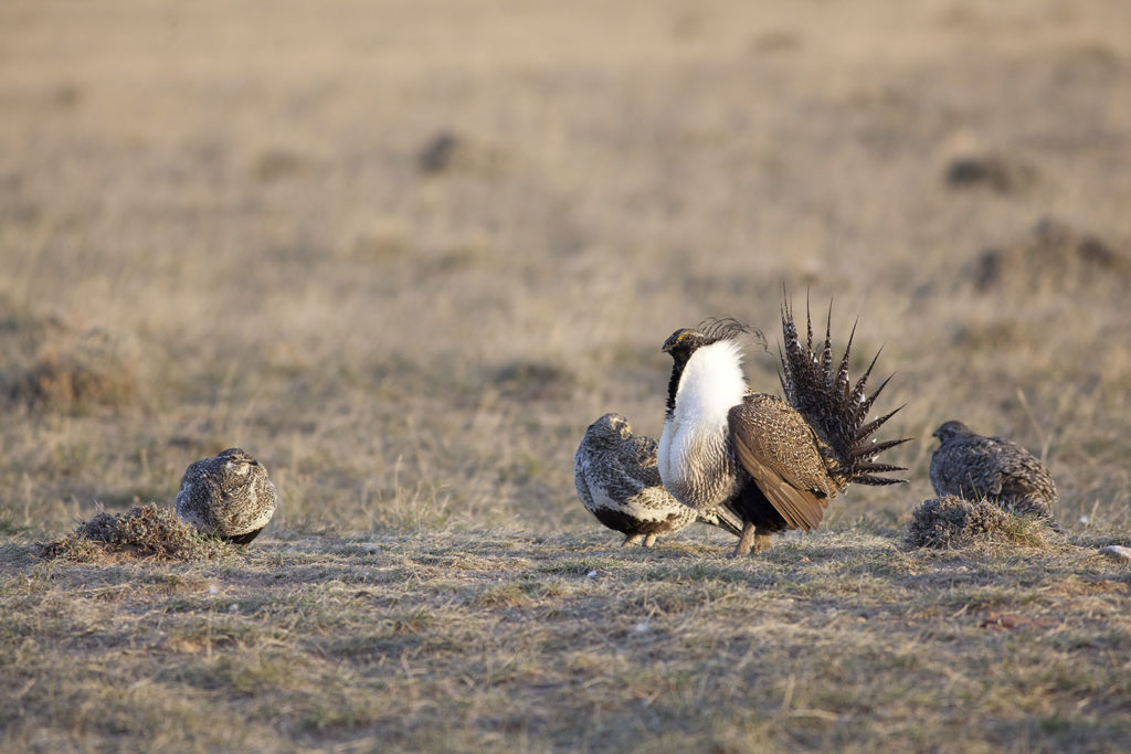 Hen sage grouse visit dominant male on a spring breeding ground. copyright 2016 by Chris Madson, all rights reserved.
